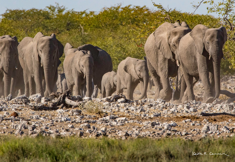 Parade of elephants to an Etosha waterhole