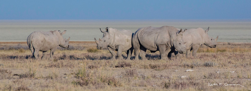 Four white rhinos with Etosha pan in background