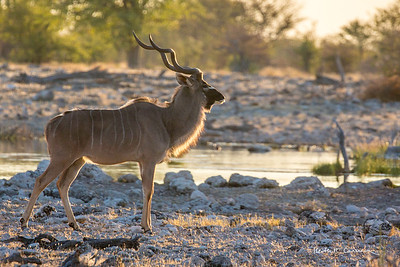Kudu buck at a waterhole