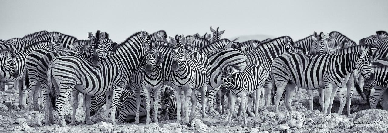 Zebras at an Etosha waterhole