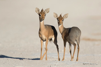 Two female dik-diks