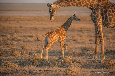 Very young giraffe with her mother