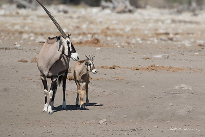 Oryx and young calf