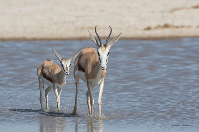 Springbok adult and young