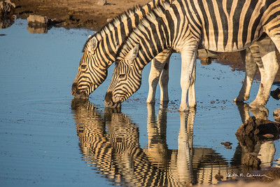 Two zebras drinking at a waterhole