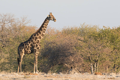 Adult giraffe in the Etosha bush