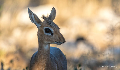 A very young dik-dik