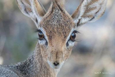 The face of a dik-dik