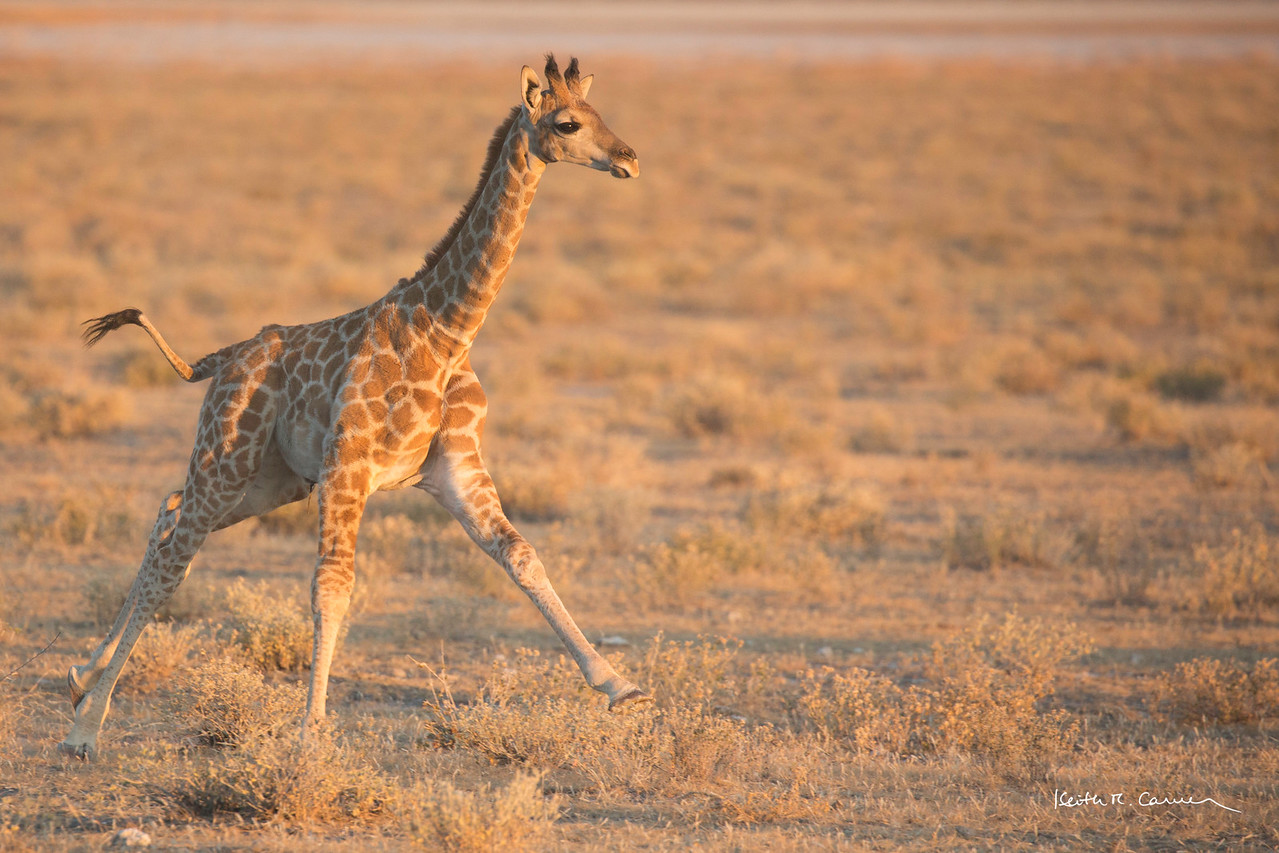 Baby giraffe in full gallop