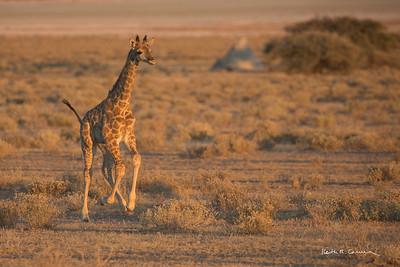 Baby giraffe practices the giraffe gallop