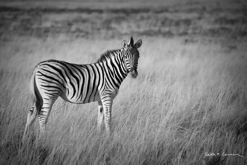 Young zebra in the veldt, early morning light