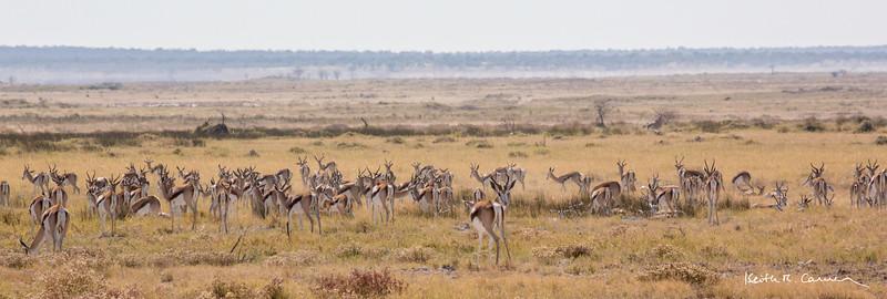 Springbok herd in the Etosha veldt