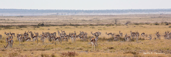 Springbok herd in the Etosha veldt
