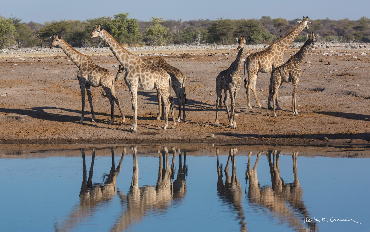 Six giraffes in horizontal asymmetry