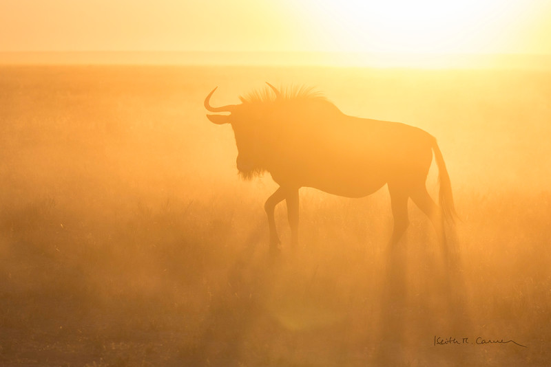 Young wildebeest in morning dust and light