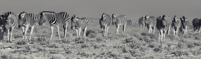 A herd of zebras migrating across the Etosha plain