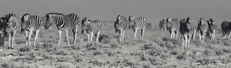 A herd of zebras migrating across the Etosha plain
