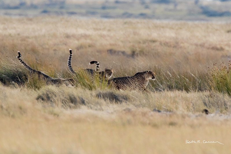Tails held high, a family of 3 cheetahs searches for prey