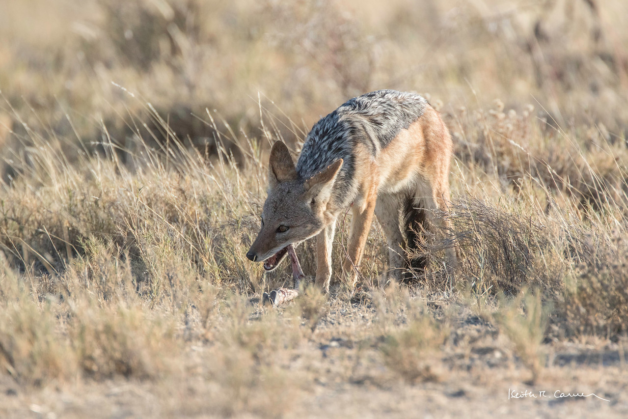 Jackal gnawing on the bone of a springbok kill