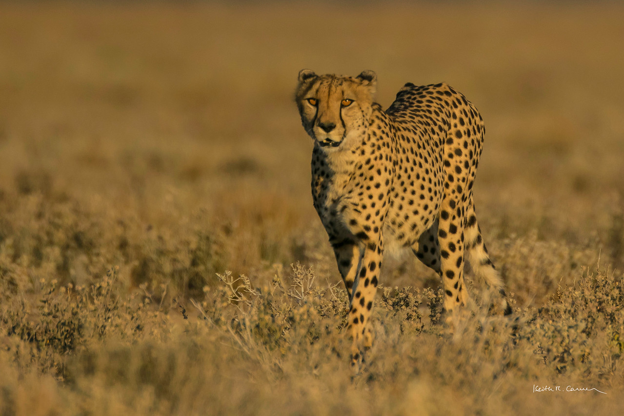 Cheetah adult on the hunt