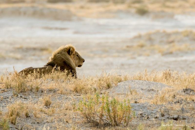 Lion male resting on a sandy knoll