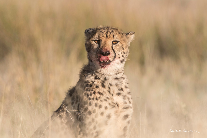 Young cheetah licking chops after a springbok breakfast