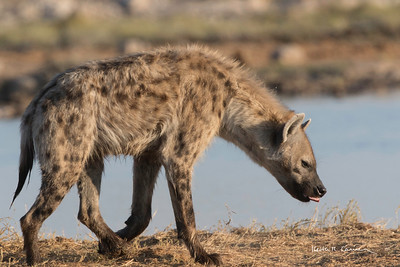 Spotted hyena at waterhole
