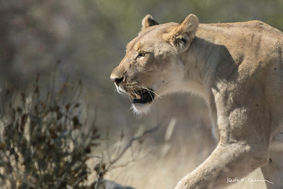 Lioness focused on a young kudu