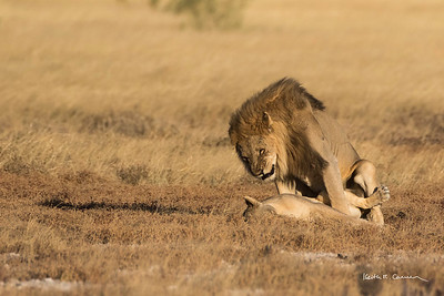 Male lion mates with female lying in Etosha veldt