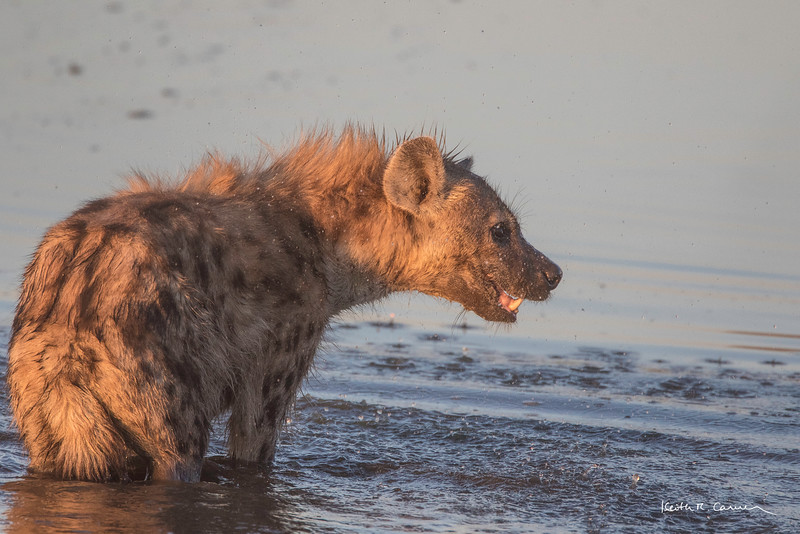 Spotted hyena showing canines