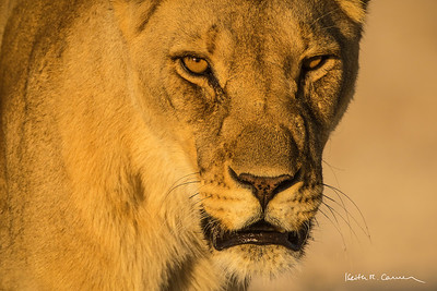 Closeup of lioness face