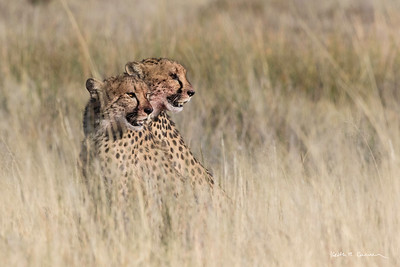 Two cheetahs with blood-stained faces after a breakfast of springbok