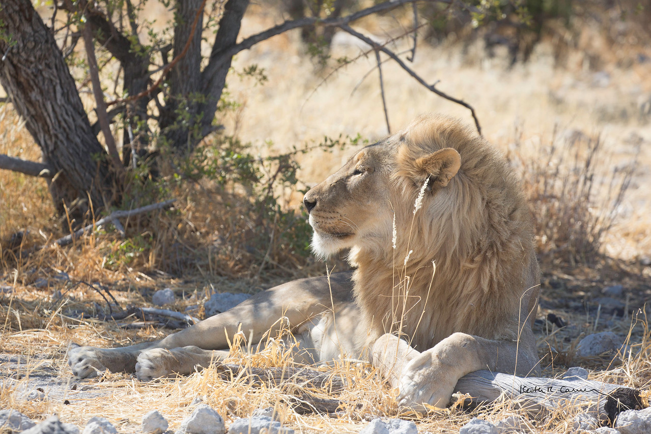 Lion king resting in the shade of a tree