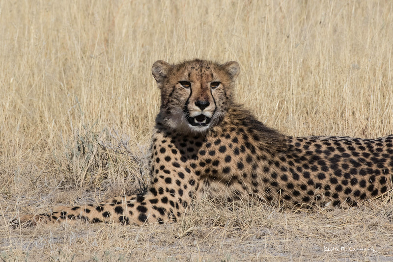 Cheetah mother resting in Etosha veldt