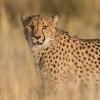 Cheetah mother on alert