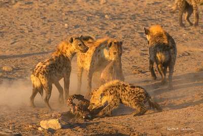 Pack of spotted hyenas with carcass of kudu kill