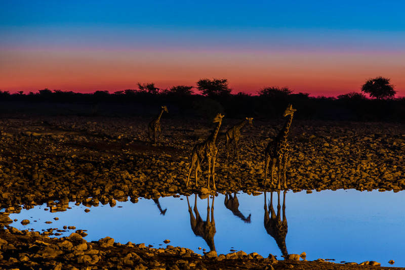 Giraffes at an Etosha waterhole at dusk