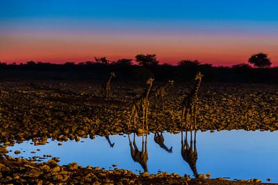 Giraffes at an Etosha waterhole at dusk