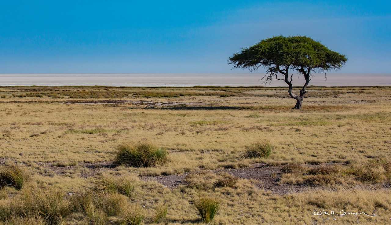 Lone acacia tree and Etosha pan, at Salvadora