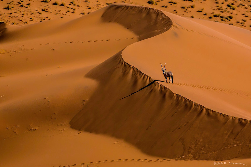 A lone oryx pauses at a Sossusvlei sand dune crest