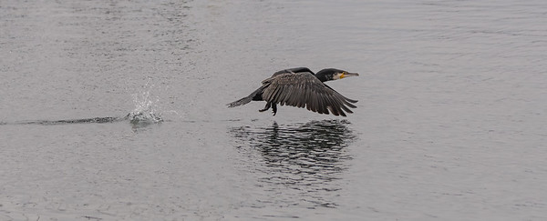 ELDRIDGE_ANN_GREAT CORMORANT