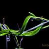 Green Snake - Oxybelis Fulgidus