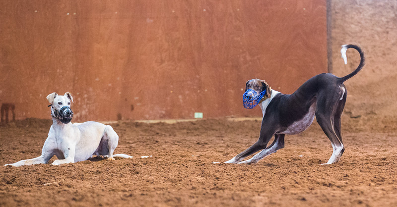 Forever Hounds Playgroup  (1251 of 1275)