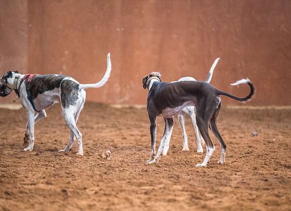 Forever Hounds Playgroup  (1271 of 1275)