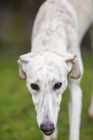 Evesham Greyhound Lurcher Rescue