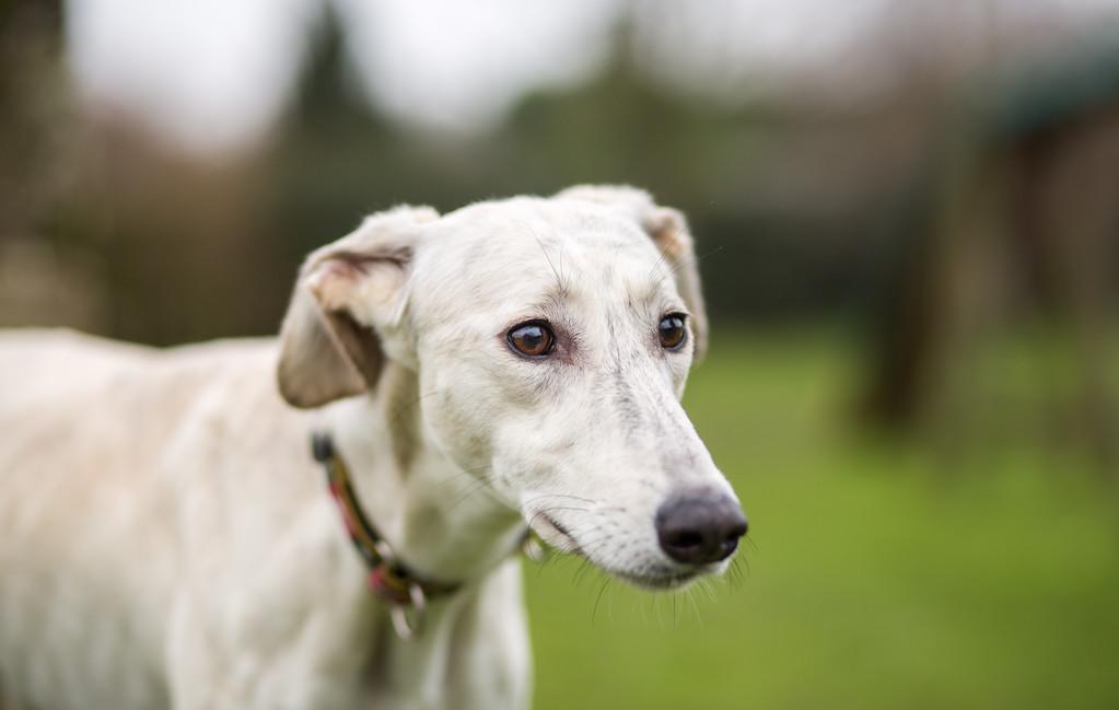 Evesham Greyhound Lurcher Rescue
