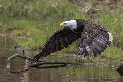 Bald Eagle takeoff, wings down
