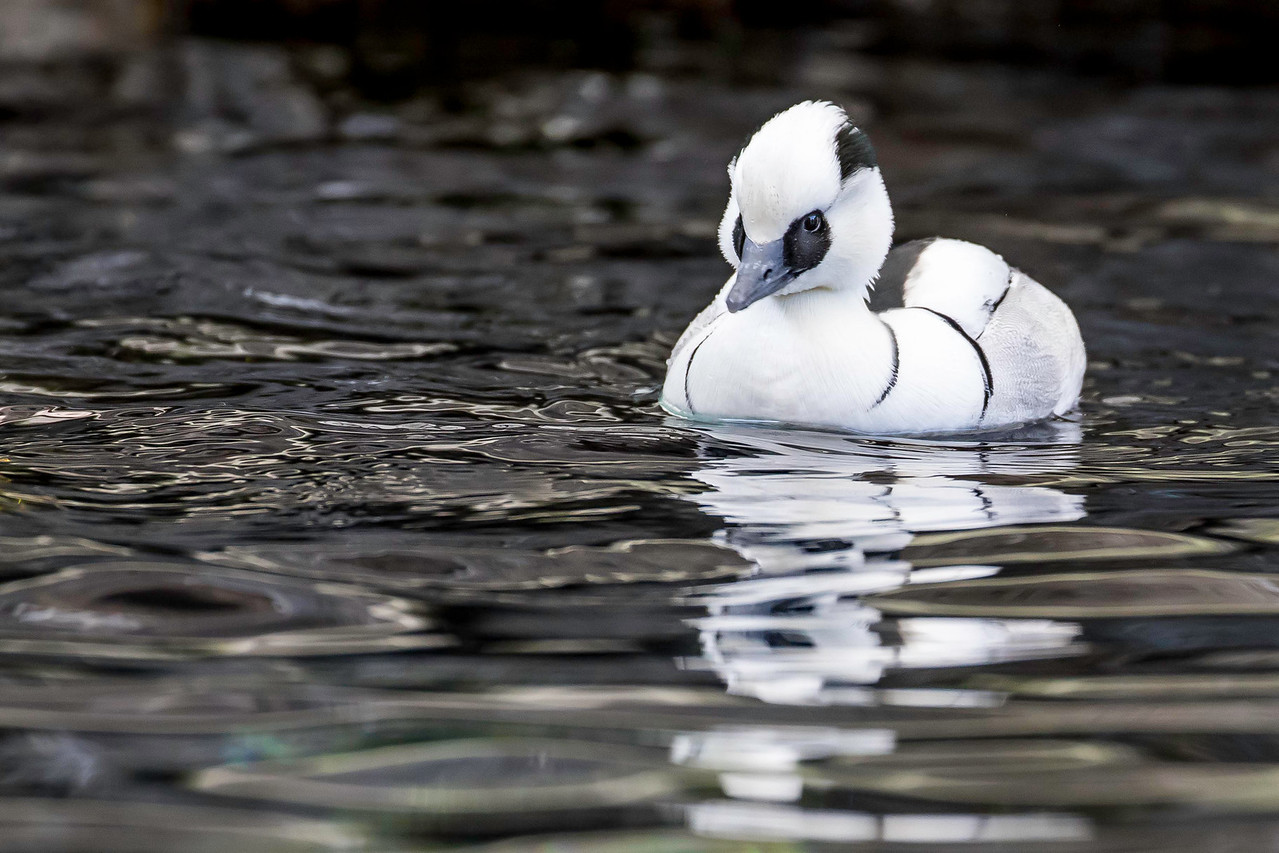 Smew drake, Alaska Sealife Center, Seward