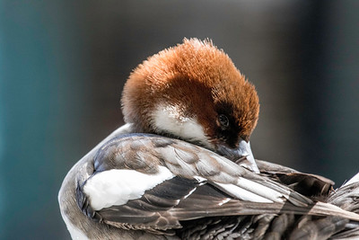 The Doo of a Smew (hen)