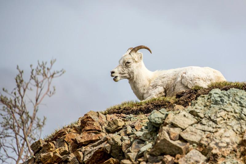 Dall Sheep ewe